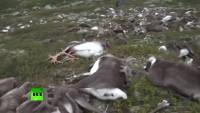 Norwegen: Blitzeinschläge oder Seuche? Über 300 tote Rentiere auf Hochebene entdeckt