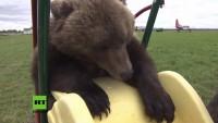 Russland: Bär lebt nach missglückter Auswilderung auf Flughafen und wird zum absoluten Hingucker