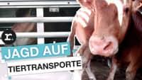 Eng, heiß, nonstop: So krass sind Tiertransporte I reporter